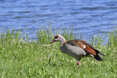 Egyptian goose Stock Photography