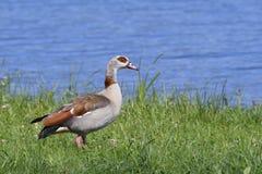 Egyptian goose Stock Photography