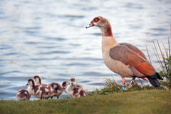 The Egyptian Goose Royalty Free Stock Photos