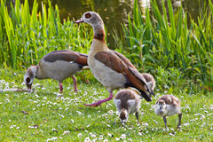 Egyptian goose family in spring stock photography