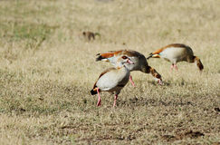 A Egyptian goose feeding in the grassland Royalty Free Stock Photography