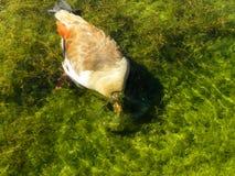 Egyptian Goose feeding Stock Photo