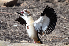 Egyptian goose4 Stock Photography
