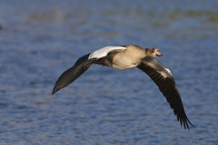 Egyptian goose in flight Royalty Free Stock Photos
