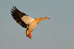 Egyptian goose in flight Stock Photography