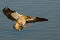 Egyptian goose in flight. Common resident.  Solitary, in pairs or in flocks.  Occurs on large freshwater bodies.  Pink legs and bill Stock Images