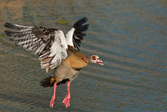 Egyptian goose in flight. Common resident.  Solitary, in pairs or in flocks.  Occurs on large freshwaterwater bodies.  Pink legs and bill Stock Photos