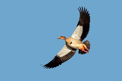 Egyptian goose in flight Royalty Free Stock Photography