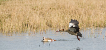 Egyptian Goose in flight Royalty Free Stock Image