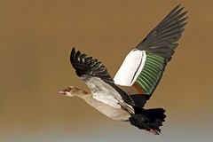 Egyptian Goose in flight. An Egyptian Goose in flight with beautiful coloring on wings stock photo