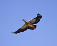 Egyptian goose in flight Royalty Free Stock Images