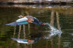 Egyptian goose in flight with wings spread out Stock Photography