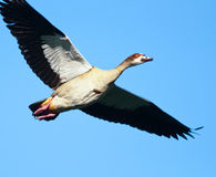 Egyptian Goose flying Royalty Free Stock Photo