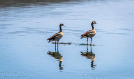 Egyptian Goose flying Alopochen aegyptiaca in East Africa Royalty Free Stock Image