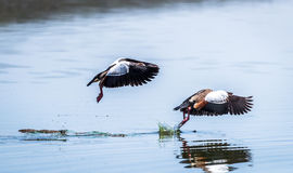 Egyptian Goose flying Alopochen aegyptiaca in East Africa Stock Photo
