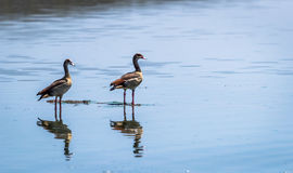 Egyptian Goose flying Alopochen aegyptiaca in East Africa Stock Photography