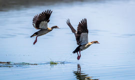 Egyptian Goose flying Alopochen aegyptiaca in East Africa Royalty Free Stock Photos