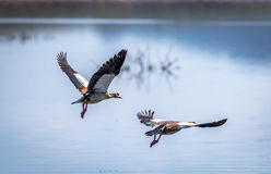 Egyptian Goose flying Alopochen aegyptiaca in East Africa Royalty Free Stock Images
