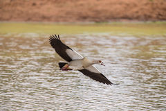 Egyptian goose flying over water with stretched wings to land Royalty Free Stock Photos
