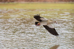 Egyptian goose flying over water with stretched wings to land Stock Image