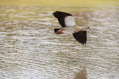 Egyptian goose flying over water with stretched wings to land Stock Photos