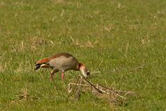 Egyptian goose foraging for food, pecking in the ground, selective focus - Alopochen aegyptiaca. Egyptian goose standing in a green meadow,pecking in the ground royalty free stock photo