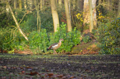 Egyptian goose in a forest. Egyptian goose posing on a forest background Stock Photo