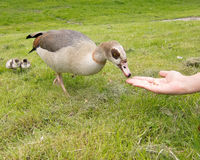 Egyptian Goose Geese flooding River Thames stock photography