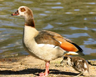 Egyptian Goose with gosling Royalty Free Stock Images