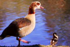 Egyptian Goose with gosling Stock Image