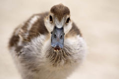 An egyptian goose gosling on a beach Royalty Free Stock Photography