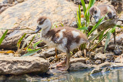 Egyptian Goose Gosling Portrait Royalty Free Stock Photography
