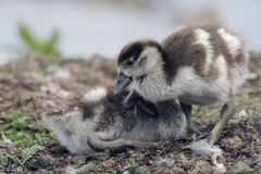 Egyptian goose goslings Stock Photo