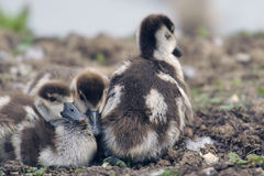 Egyptian goose goslings Stock Image