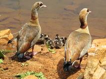 Egyptian goose with goslings Royalty Free Stock Photo