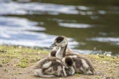 Egyptian goose goslings, Alopochen aegyptiaca Royalty Free Stock Photography