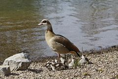 Egyptian Goose with goslings in Germany Royalty Free Stock Photos
