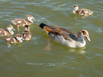 Egyptian goose with goslings Stock Image