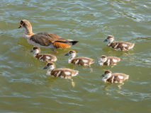 Egyptian goose with goslings Stock Photos