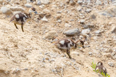 Egyptian Goose Goslings Sliding Down Slope. A comical photograph of Egyptian Goose Goslings, sliding down an earthy river bank.  One seems to be trying to use Stock Photography