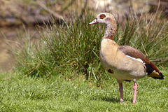 Egyptian Goose on grass Royalty Free Stock Image