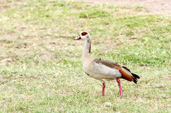 A Egyptian goose on the grass field Royalty Free Stock Image