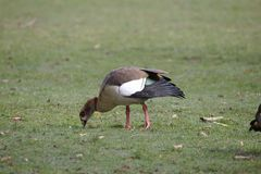 Egyptian goose grazing on grass. Alone stock photos
