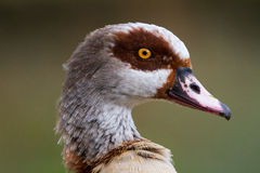 Egyptian goose head Royalty Free Stock Image