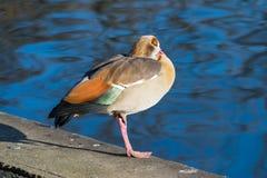 Egyptian Goose at Hyde Park, London, UK stock image