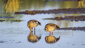 Egyptian Goose in Kruger National park, South Africa Royalty Free Stock Photo