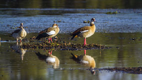 Egyptian Goose in Kruger National park, South Africa royalty free stock photography