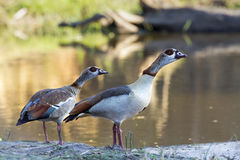 Egyptian Goose in Kruger National park. Specie Alopochen aegyptiaca family of anatidae, Egyptian Goose in Kruger National park Stock Image