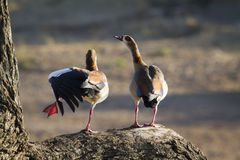 Egyptian Goose in Kruger National park stock images