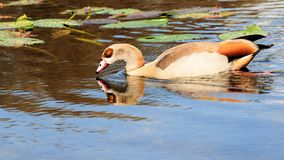 Egyptian goose in lake Royalty Free Stock Image